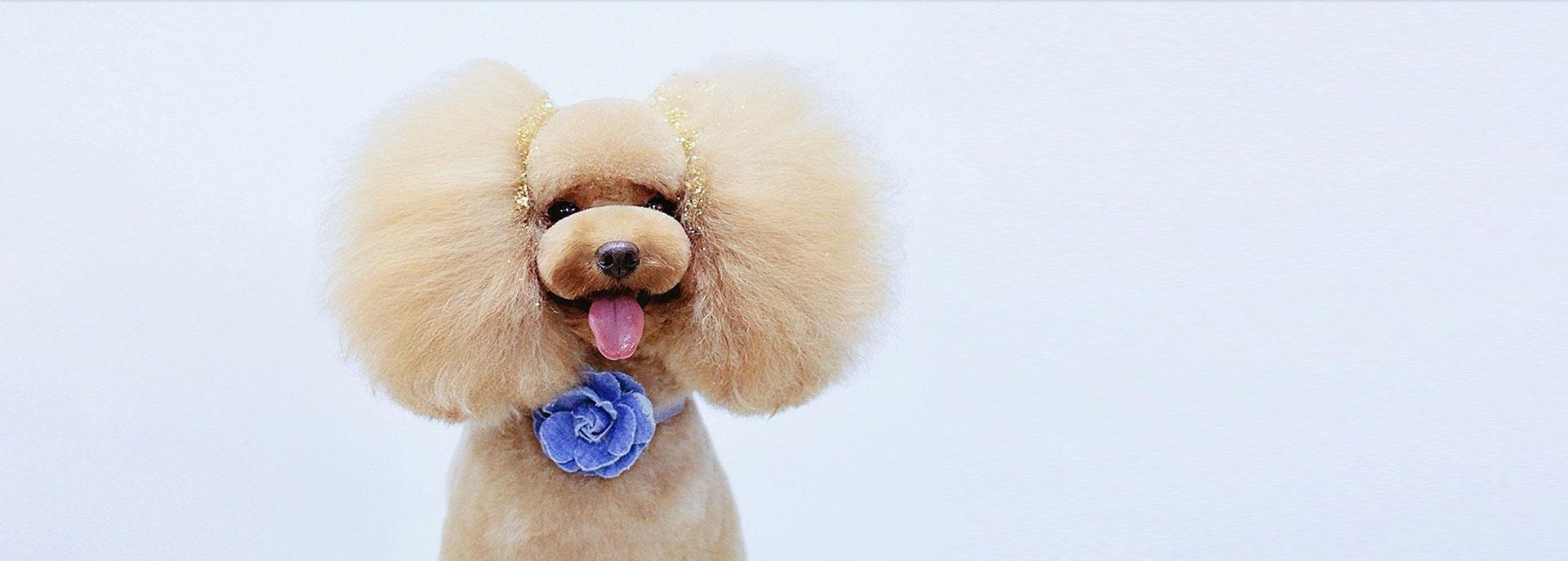 宠物美容学校告诉你:狗狗的泪痕是如何产生的